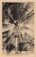 Cocoanut tree bearing Cocoanuts, Zanzibar