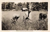 Natives picking rice