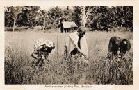 Natives picking rice