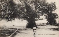 Un baobab à Mombasa