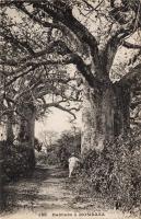 Baobabs à Mombasa
