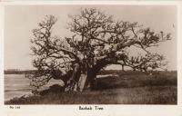 Baobad Tree