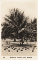 A Wonderous Coconut Tree. Mombasa