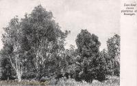 Cloves Plantation at Doongah