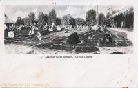 Zanzibar Clove Industry. Drying Cloves