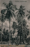 Cocoa nut Tree